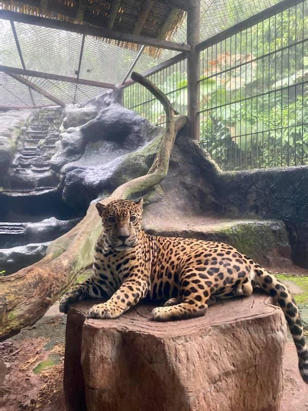 A Cheetah at a zoo in Costa Rica