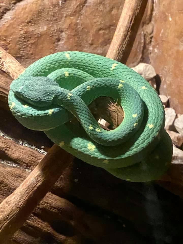 A venomous green viper snake with yellow spots in La Paz, Costa Rica