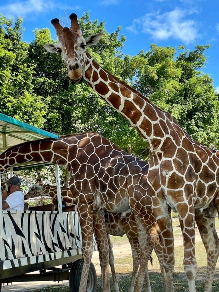 giraffe leaning into safari truck