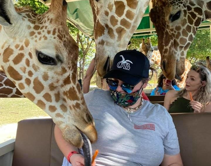 Woman feeding giraffes by hand from the trolley at the Ponderosa Safari in Costa Rica