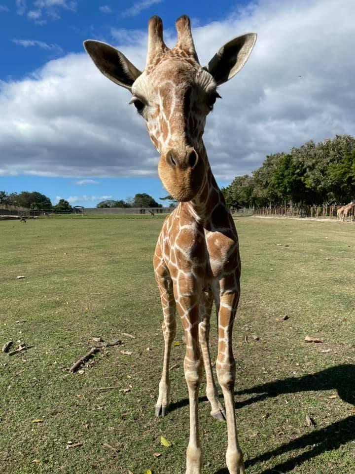 giraffe {'