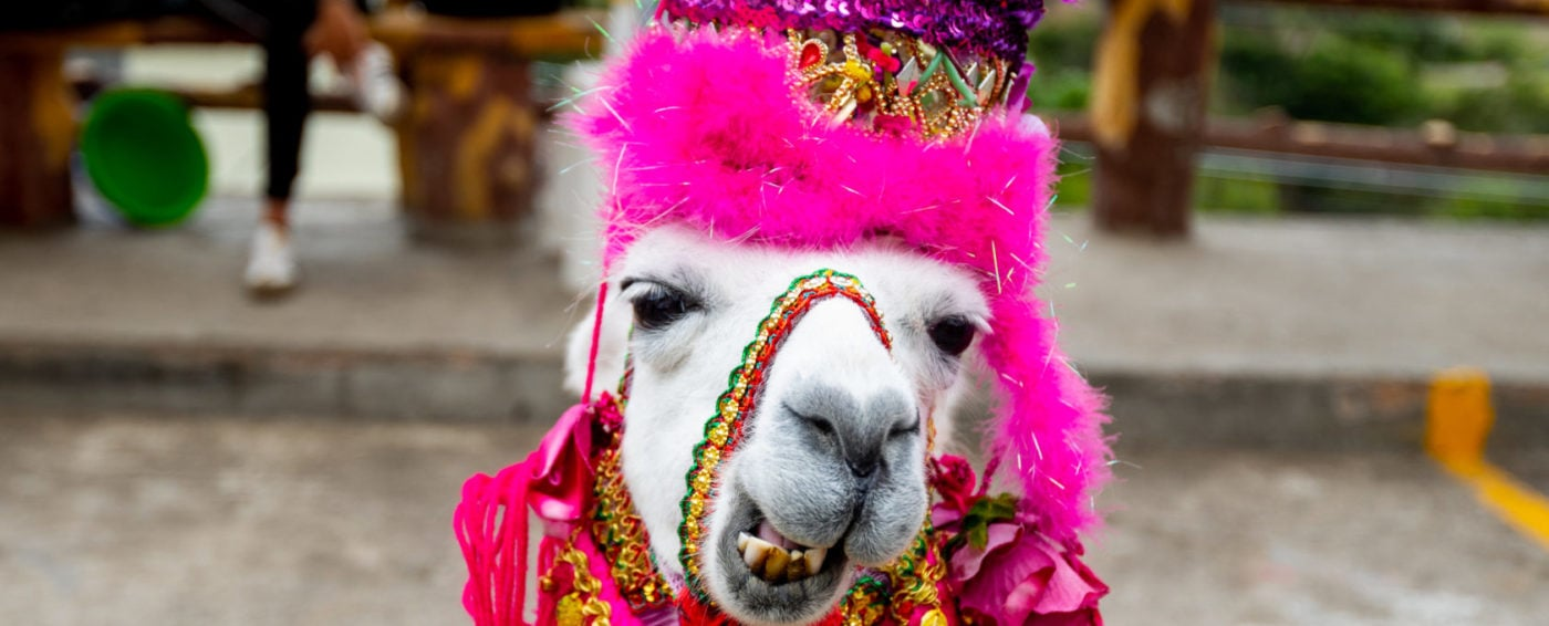 Colorful llama dressed in red and pink hats and scarves in Columbia
