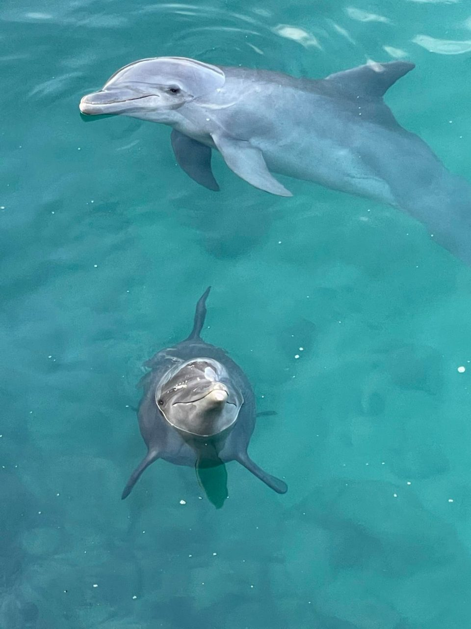 Two dolphins in the water looking up in Isla Mujeres, Mexico