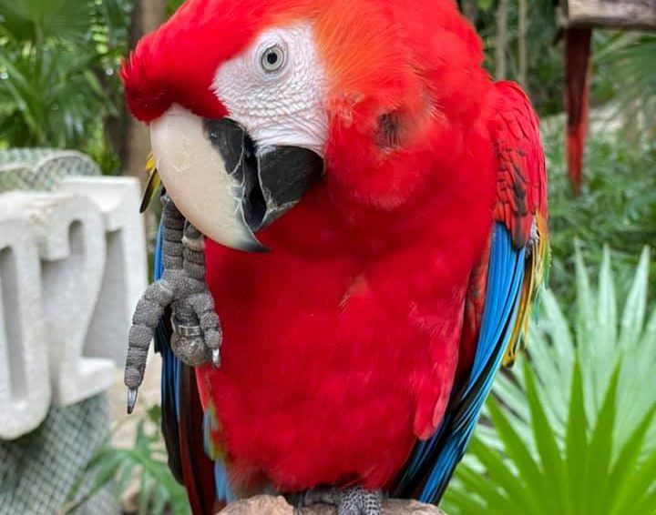A bright red parrot on a perch in Mexico