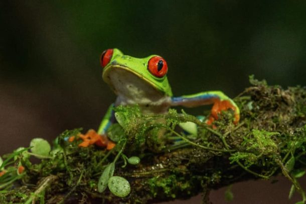 Vibrant picture of a frog sitting on a branch in Costa Rica