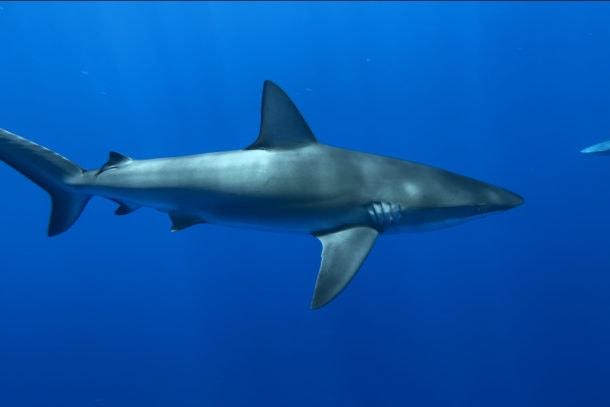 A large shark swimming through the ocean